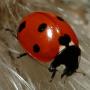 icon Ladybug - Live Wallpaper